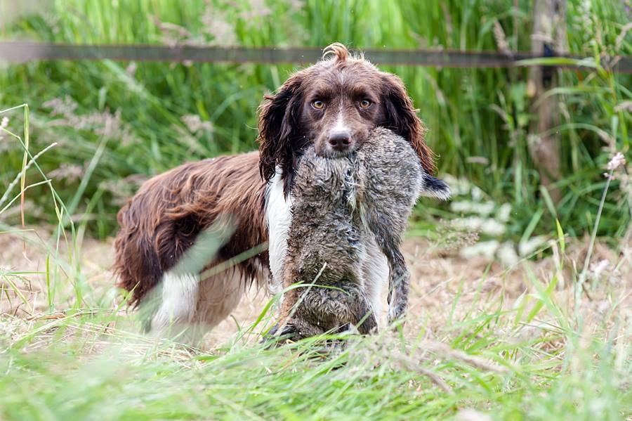 engelse-springer-spaniel-bruin | jachthonden